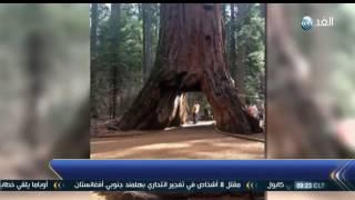 فيديو.. سقوط أضخم شجرة في العالم