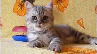 Продается мраморная шотландская кошка страйт Донецк
