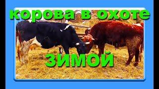Бык кроет чёрную корову зимой  без привязное содержание КРС