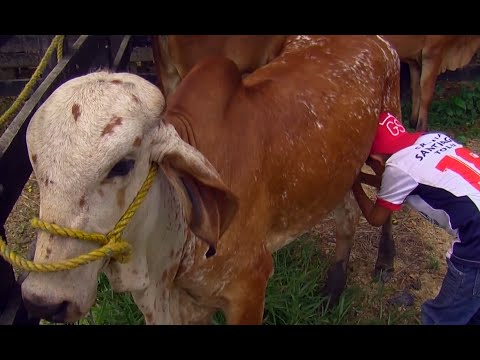 Non Violent Training and Nutrition for Cattle - TvAgro by Juan Gonzalo Angel