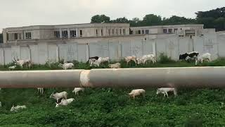 VIDEO: Cows grazing at national assembly