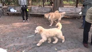 COB 生後115日 初めて母犬と再会.