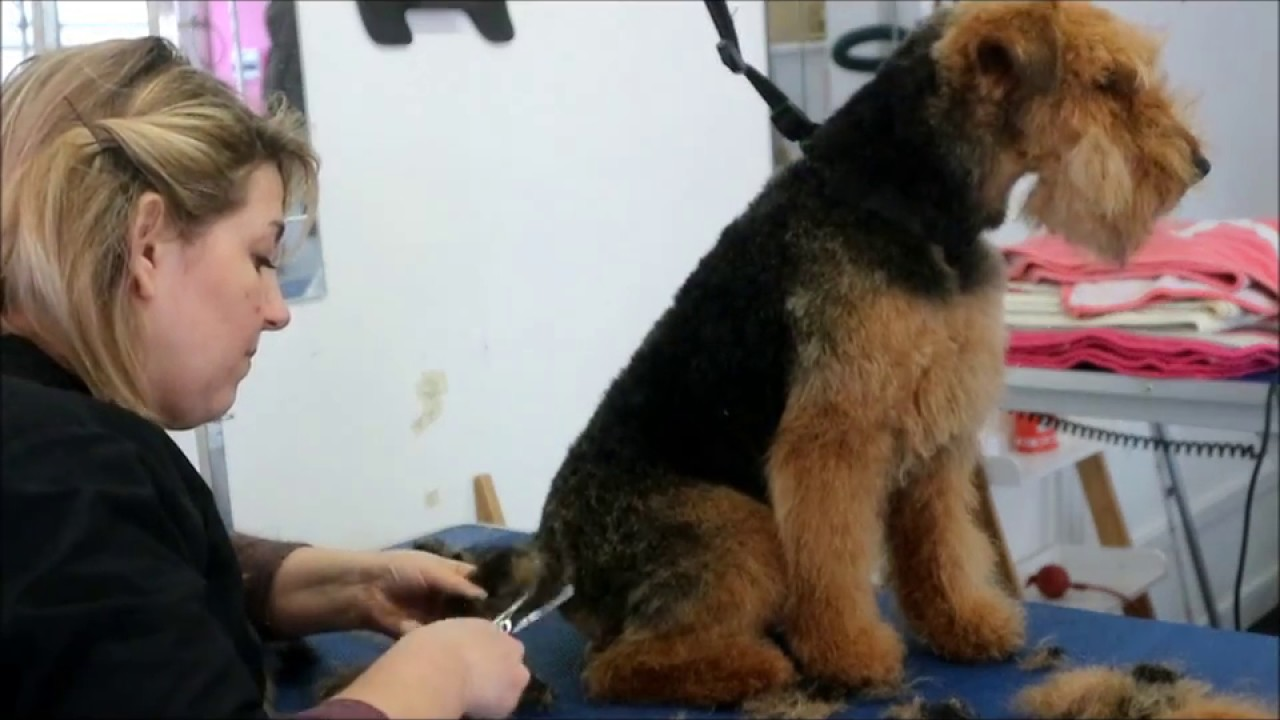 How To Do A Welsh Terrier Clipped Youtube