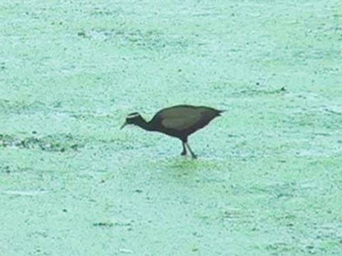 Bronze-Winged Jacana, Bharatpur