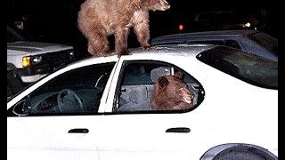 В США медведь забрался в авто и начал сигналить(, 2015-10-27T19:48:24.000Z)