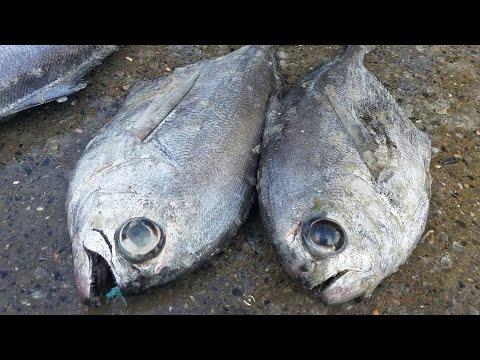 BRAMA BRAMA Fish  | Amazing ATLANTIC Pomfret  Cleaning Instructions