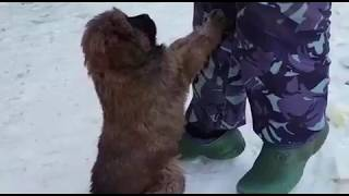 Щенки тибетского мастифа китайского типа - http://www.beliy-lekar.ru/puppies-tm-for-sale
