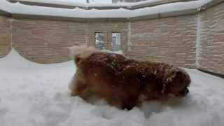 雪に喜ぶチベタンスパニエル.