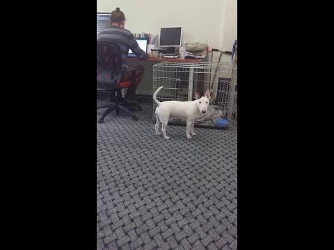 Miniature bull terrier Kora in the office