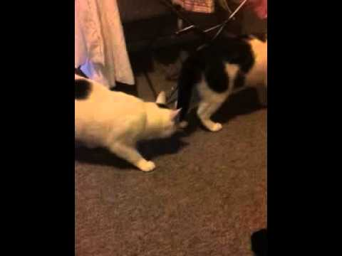 Pippa vs patches funny cats