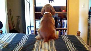 Herman The Cocker Spaniel Watches Dogs 101 On Animal Planet