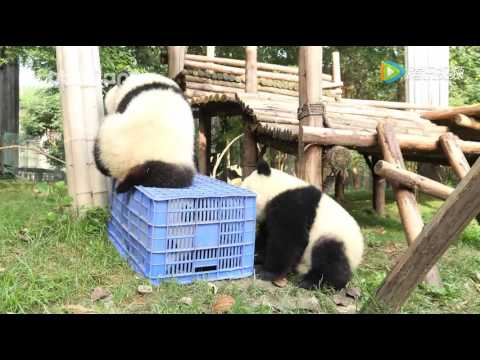 [PANDAPIA]俩熊猫合力把小伙伴关进篮筐,真坏!