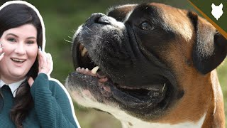 DO BOXER DOGS HAVE HIGH PREY DRIVE