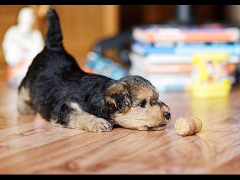 Щенки породы Лейкленд терьер (Lakeland Terrier Puppies)  - 4 серия