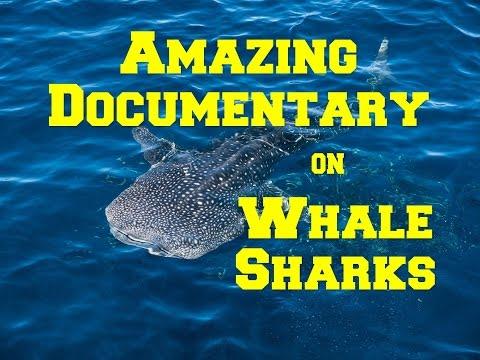Documentary: Whale Shark- An Amazing Documentary on the Behaviour of Whale Sharks