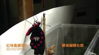 第一次完整地將紅珠鳳蝶的羽化拍攝下來.