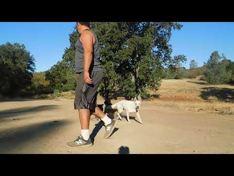 Off Leash Dog Training - Lucy German Shepard, Buddy Wheaton terrier mix puppy, & Lucy 5 month old