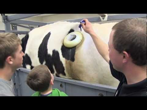 Fertis the Fistulated Steer: Revealing the Rumen at Open House
