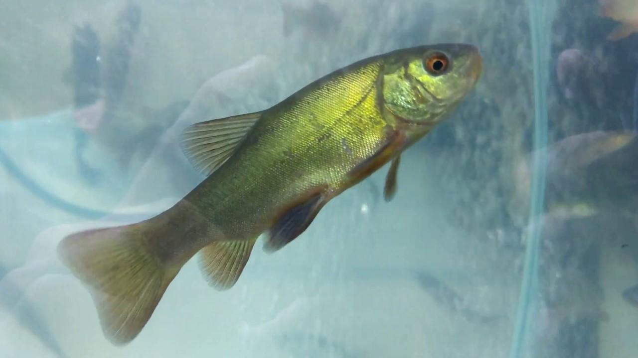 прудовые рыбы фото и названия черноземья портреты девушек