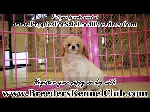 Toy Poodle PUPPIES FOR SALE GEORGIA LOCAL BREEDERS