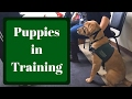 Guide Dogs for the Blind Puppy Raising Class | Distractions