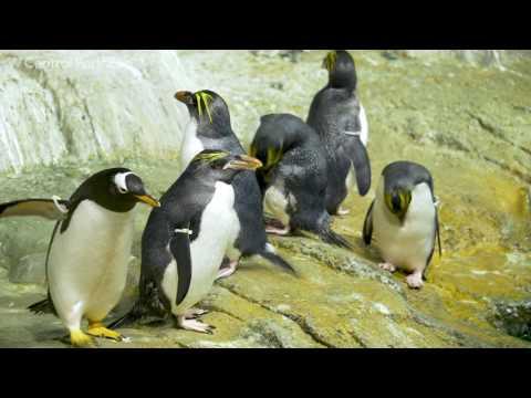 Macaroni Penguins on Exhibit | Central Park Zoo