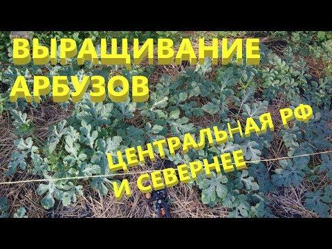 Выращивание арбузов.Арбузы и дыни в открытом грунте
