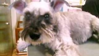 http://www.doggies.tv 今日も最後までお利口さんにトリミングを頑張っ...