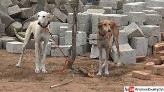 Mix breed dogs | Irani dog photo | greyhound and Irani mix breed