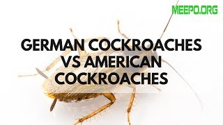 German Cockroaches vs American Cockroaches ✅
