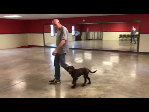 Lewis Manor Labradoodles Puppy Training: Teddy