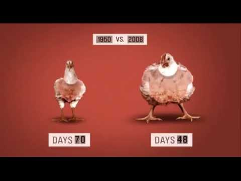 genetically modified chicken - photo #30