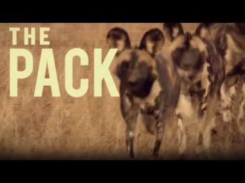 african wild dogs attacks national geographic documentary animals