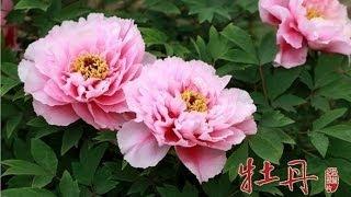 一部牡丹的种植鉴赏史,几乎也是一部中国历史的演变史,一部中华文化的...