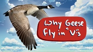 Why Geese Fly in V's