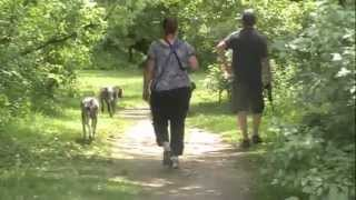 German Shorthaired Pointers Go Swimming In The Otonabee River.m4v