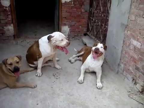 تدريب الكلاب بيتبول مستوي عالي Pittpull Training Youtube