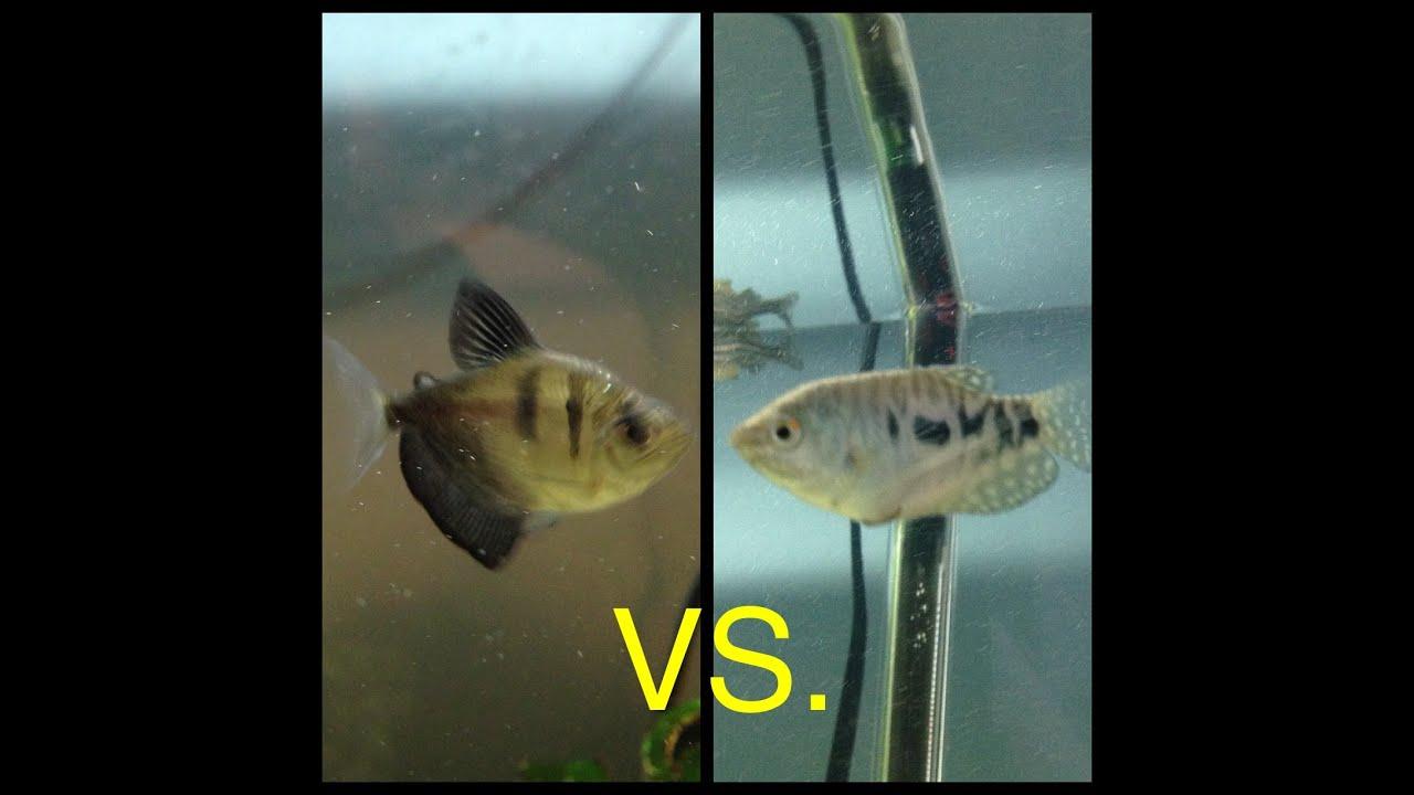 Tetra fish male or female-4505