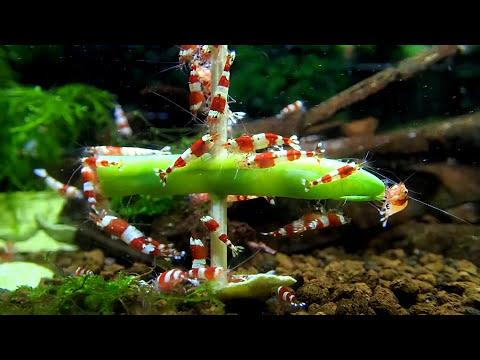 Aquarium Shrimp Versus Food - Green Bean