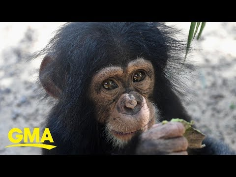 The JV Show - Baby Chimps Can't Stop Hugging Their New Friend!