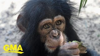 These baby chimps can't stop hugging their newest friend l GMA Digital