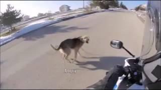 Tổng hợp những tai nạn từ vụ chó thả rông