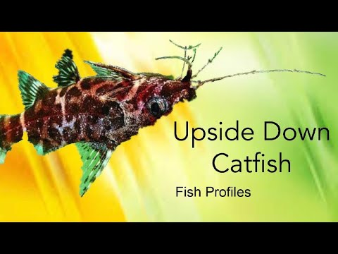 Upside-Down Catfish Care | Fish Profiles #11