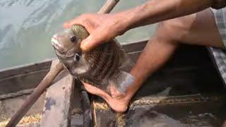 Karimeen fishing in lake - Pearl Spot fish