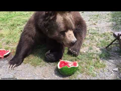 Leo and Jimbo eating their watermelon.