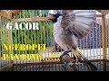 Pancingan Kutilang Biar Gacor Kutilang Males Bunyi Jadi Ikut Bunyi Dan Gacor  Mp3 - Mp4 Download