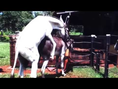 Hybrid Horse Donkey Mating with Burro YouTube - YouTube
