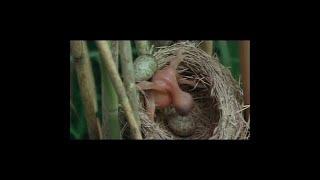 El CuCo Común - Parasitismo en la Naturaleza