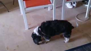 Shihtzu Lost His Tail-oops Allergy