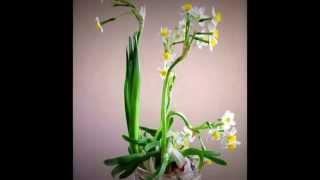 Thơ xuân trên đất khách và hoa Thủy Tiên